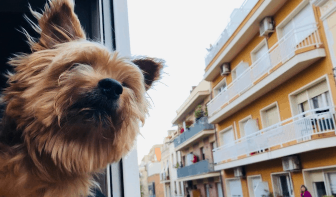 A traveling Yorkie with his head out the window